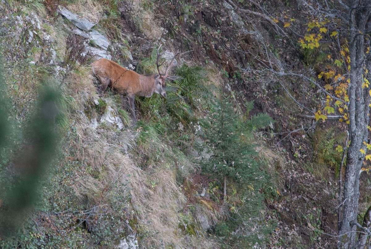 Un cerf descend tranquillement dans un couloir