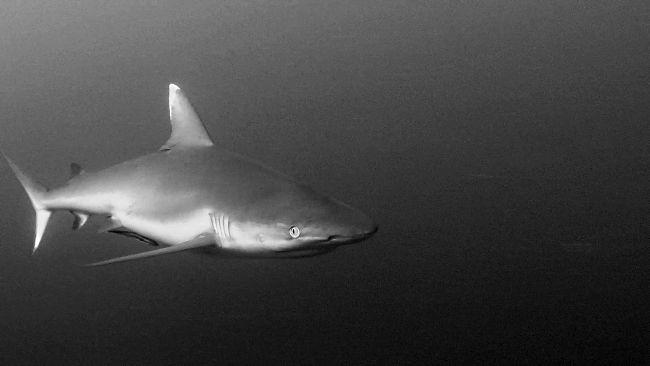 Requins rôles