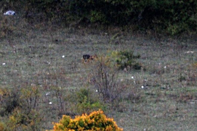 Le loup des Abruzzes (3) : je l'ai vu !!!!!!!!!
