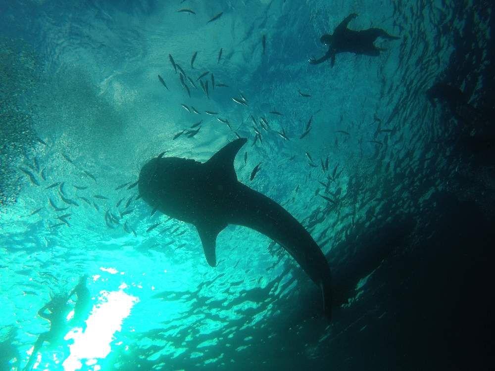 Requins baleines à Oslob aux Philipines
