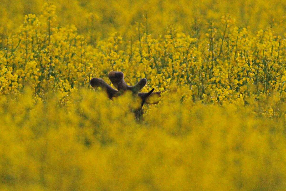 Velours jaune orage