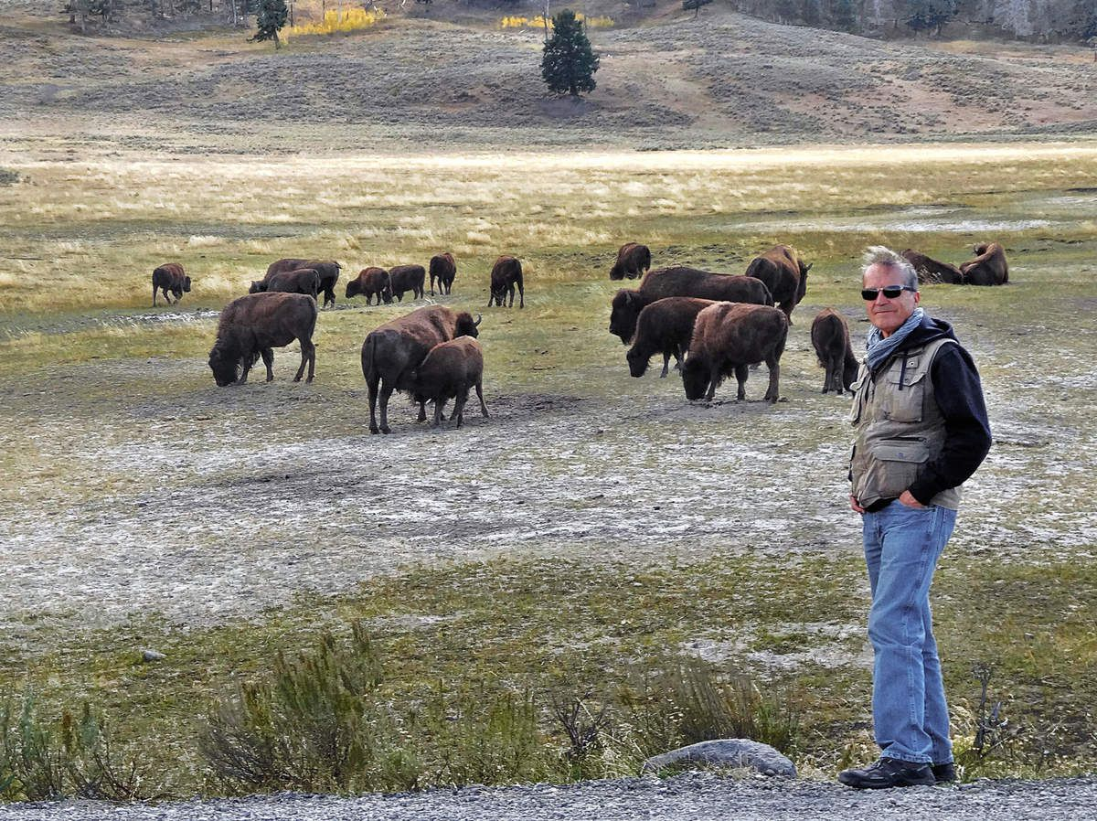 Yellowstone Lamar Valley Bisons