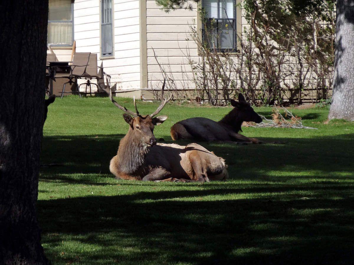 Yellowstone Mammoth Hot Springs cerfs