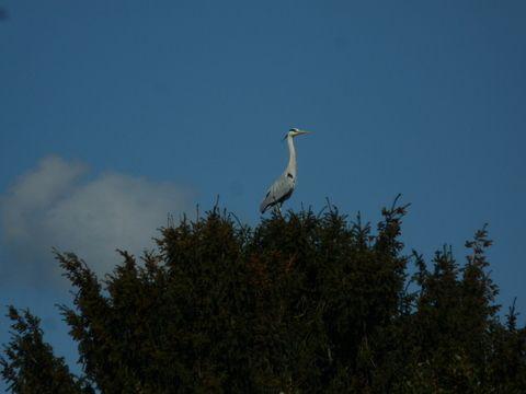 Le héron près de l'étang de mes voisins (Photo ex-libris.over-blog.com, vendredi 28 avril 2016)