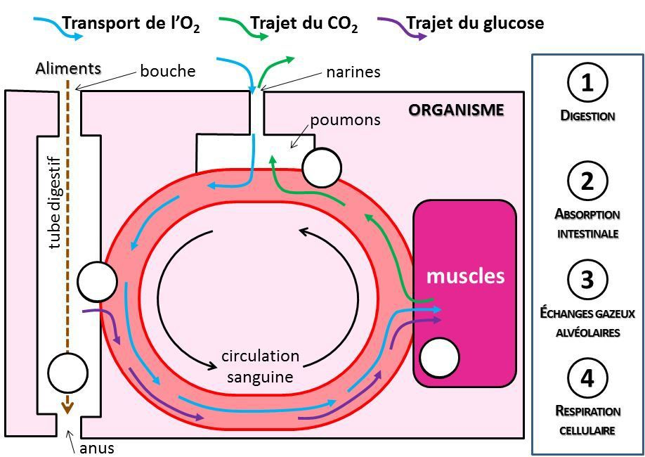 Approvisionnement muscles