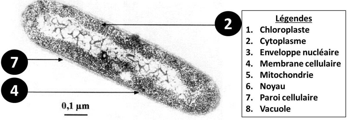La cellule bactérienne