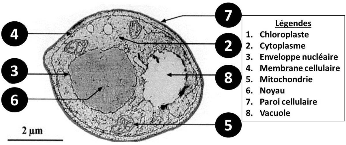 La cellule mycéllienne