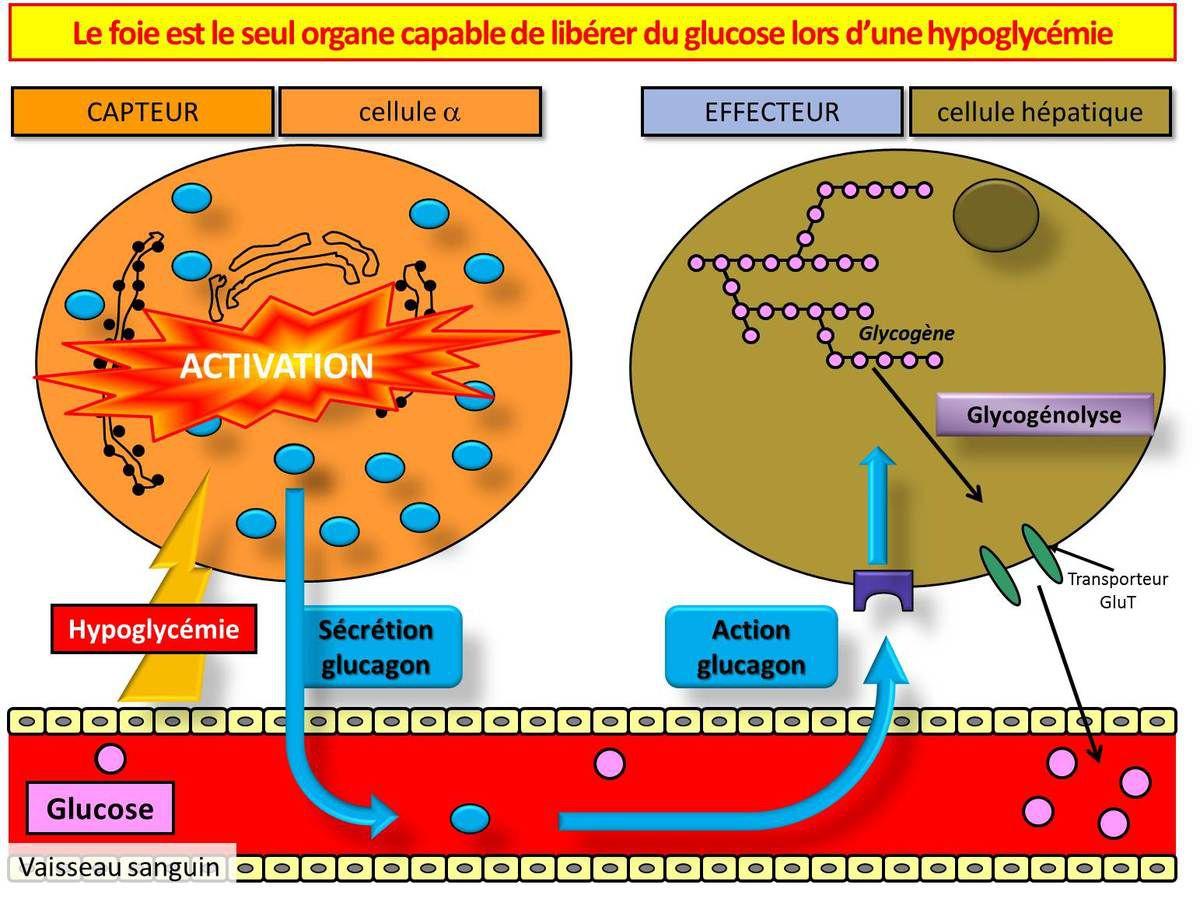Gestion de l'hypoglycémie