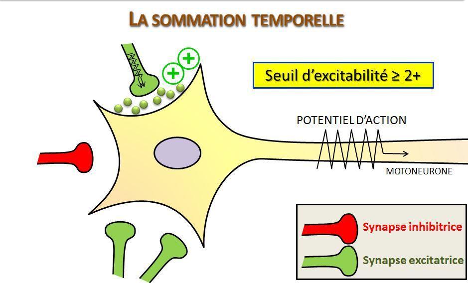 Rôle intégrateur des neurones