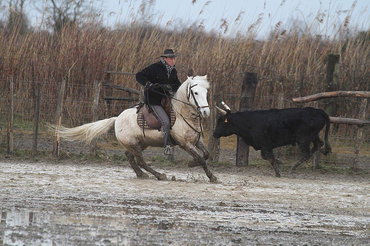Gardians de Camargue, peuple cavalier et chevaux blancs