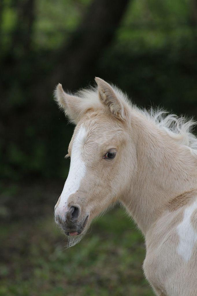 Élevage de chevaux Pemp Heol : murmurer à l'oreille des (breizh) mustangs