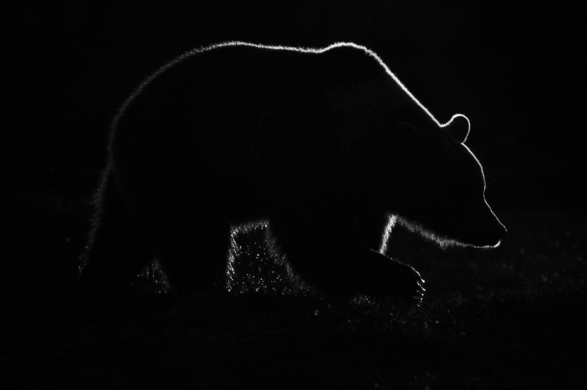 Catégorie « Nature sauvage » - 1er prix : « Éclipse d'ours », Emmanuel Tardy - Ours brun européen en contre-jour lors d'un coucher de soleil en Finlande.