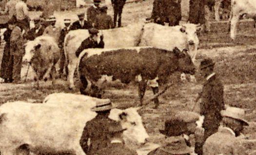 Sur la piste de l'énigmatique race bovine Morvandelle