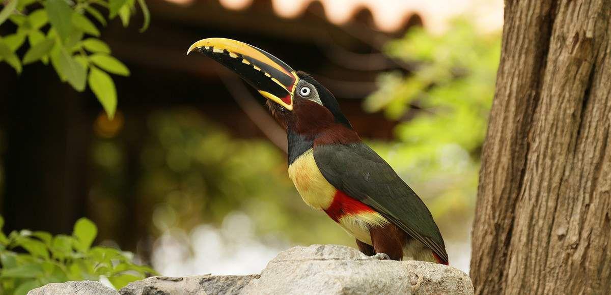 Les toucans sont parmi les oiseaux les plus mythiques du Pantanal. Ici, toucan araçari.