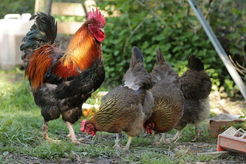 poule marans bretagne