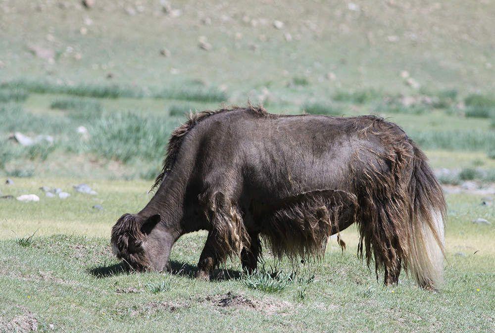 Les bovidés domestiques sont la vache (on en croise régulièrement de couleur bringée) et le yak.