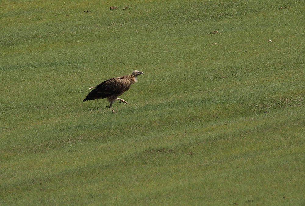 Un peu plus tôt dans la journée, nous avons croisé des vautours (un vautour de l'Himalaya et des vautours moines).