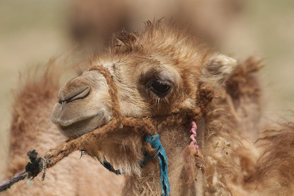 Jeune chameau de Bactriane sauvage.