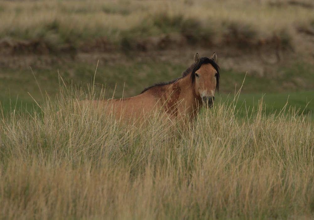 Ce cheval a une crinière bien fournie et tombante, typique des chevaux domestiques, aussi je suppose que le croisement d'un de ses ancêtres avec le Przewalski date d'il y a au moins deux générations.