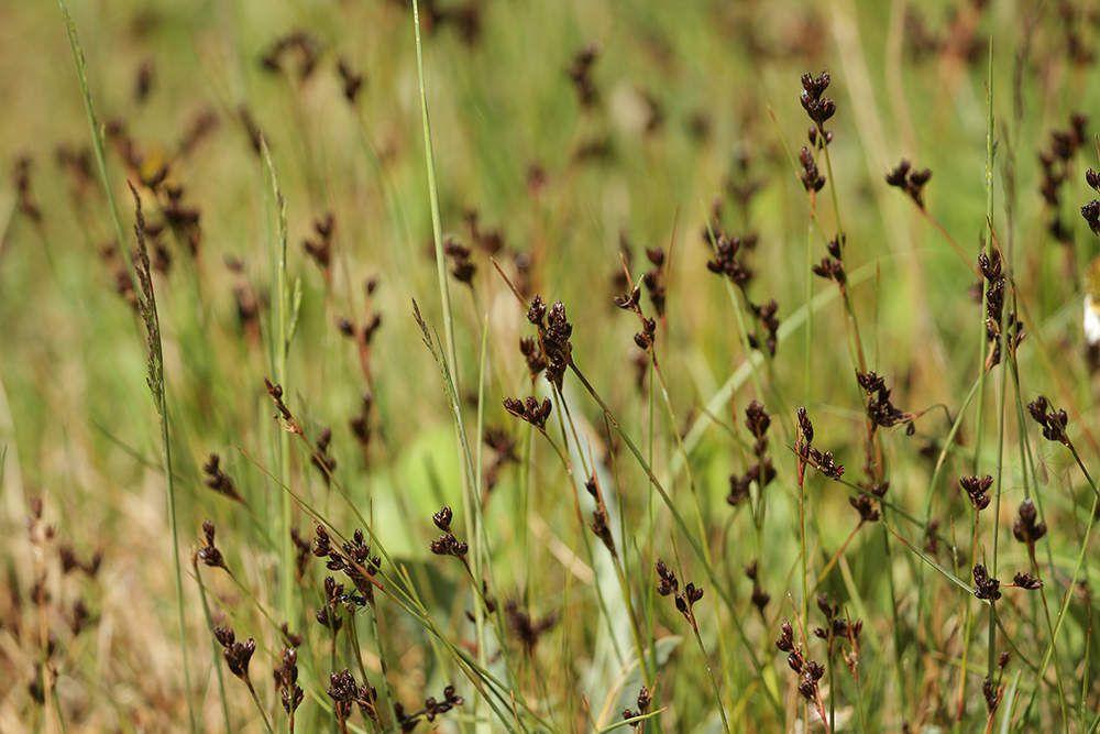 Les moustiques se cachent dans les herbes et s'envolent quand on marche.