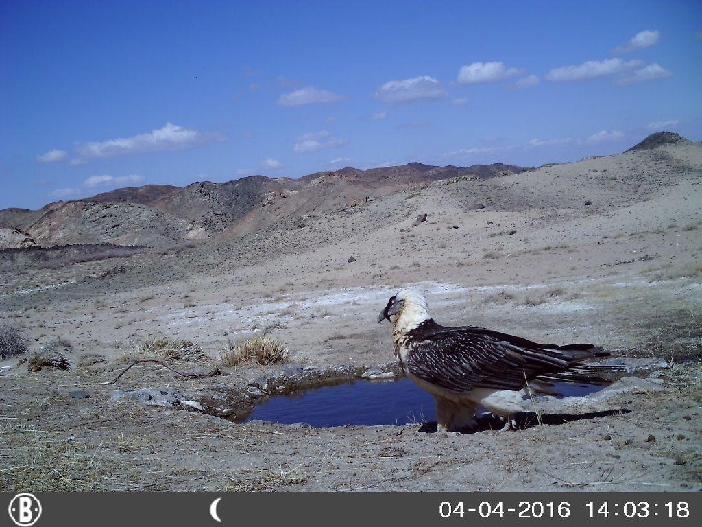 Gypaète barbu du désert de Gobi, au piège-photo. En sortant de la fac, j'ai travaillé pour la Mission FIR (Fonds d'intervention pour les rapaces) à la préservation de cette espèce en Europe, ce qui m'a convaincue à jamais que cet animal menacé est l'un des plus fabuleux rapaces de la Terre.