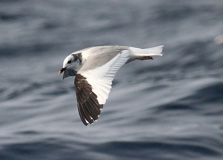Quelques nouvelles des oiseaux et des mammifères marins du Mor Braz