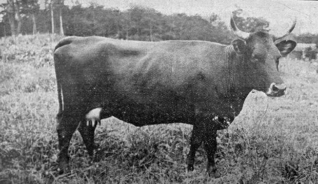 Vache Canadienne photographiée au Canada dans les années 1930. Noter le cornage important et la tête ici assez volumineuse.