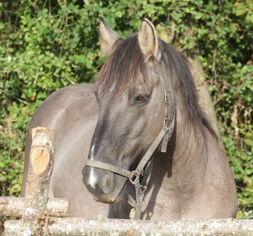 Le trait poitevin, un des chevaux français les plus menacés, a besoin de soutien.