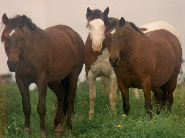Photo : Wild Horses of Abaco Preservation society
