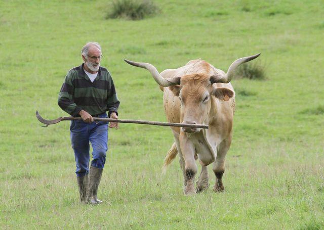 Des éleveurs de vaches incroyables qui semblent sorties d'un livre de Tolkien (Bernard et son bœuf béarnais, Pyrénées-Atlantique)