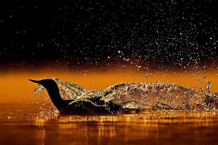 17e concours international de photo nature de la réserve naturelle des Marais de Séné : des hippopotames primés