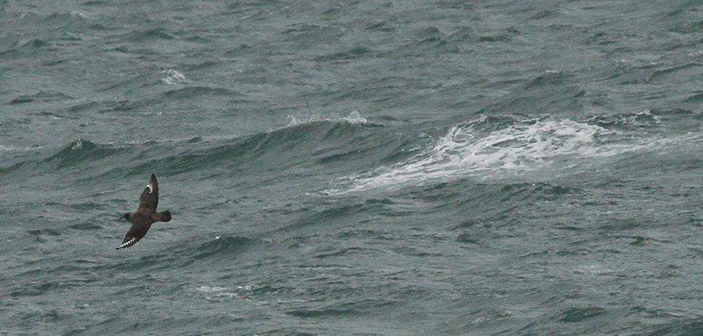 Tandis que le ciel se couvre, un grand labbe plane au ras des vagues.