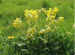 Primevère ou &quot&#x3B;coucou&quot&#x3B; : fleur de printemps