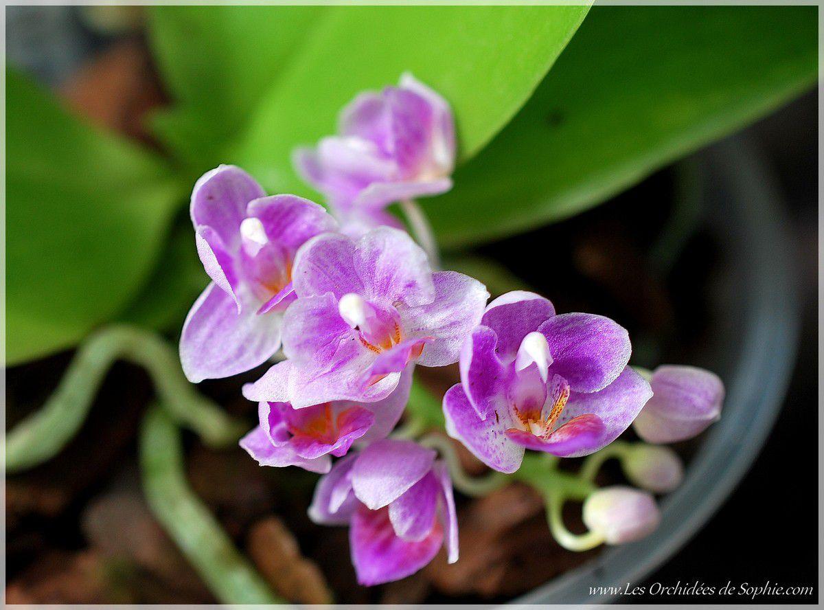 Phalaenopsis Tassanee Jongdamkerng