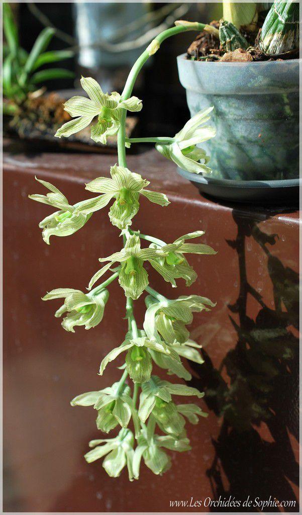 Clowesia thylaciochila