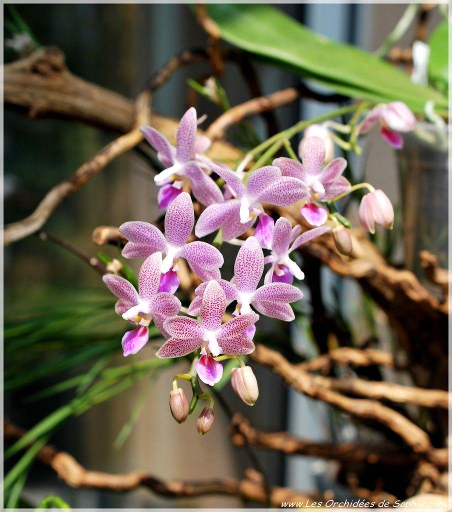 Phalaenopsis Janine