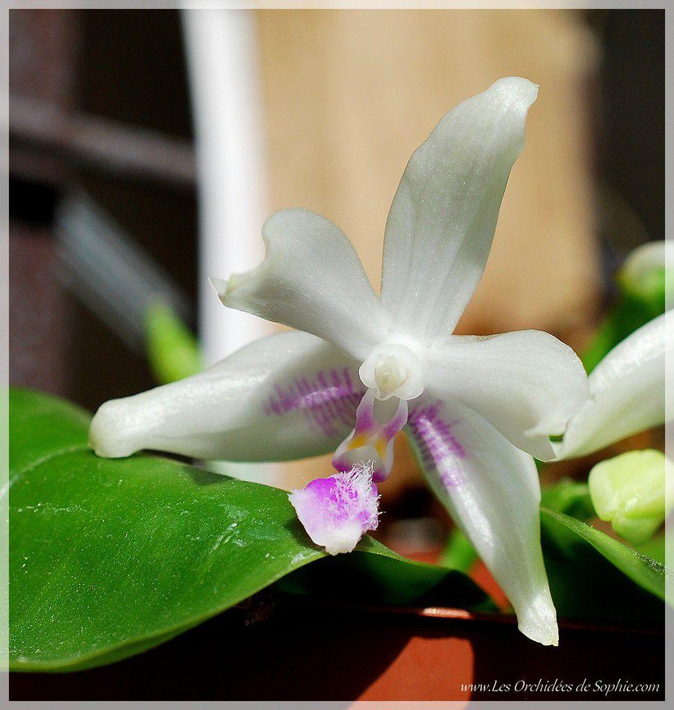 Phalaenopsis Java