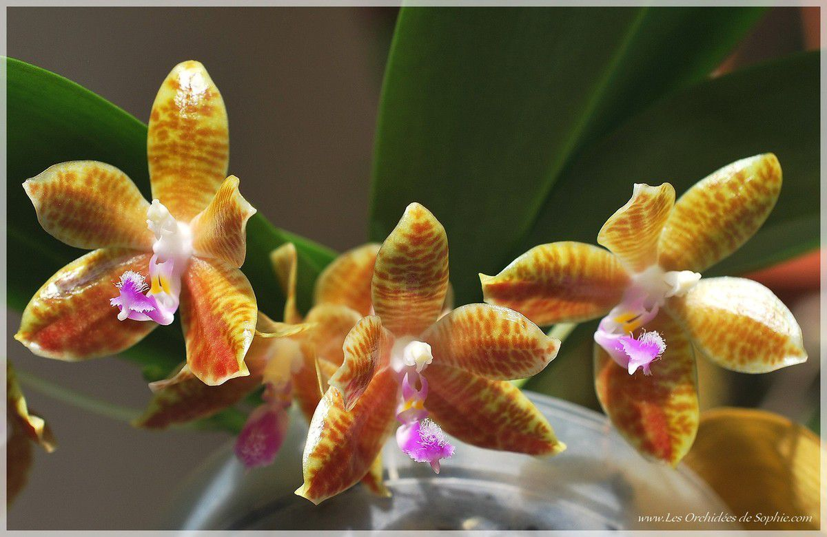 Phalaenopsis Little Fox