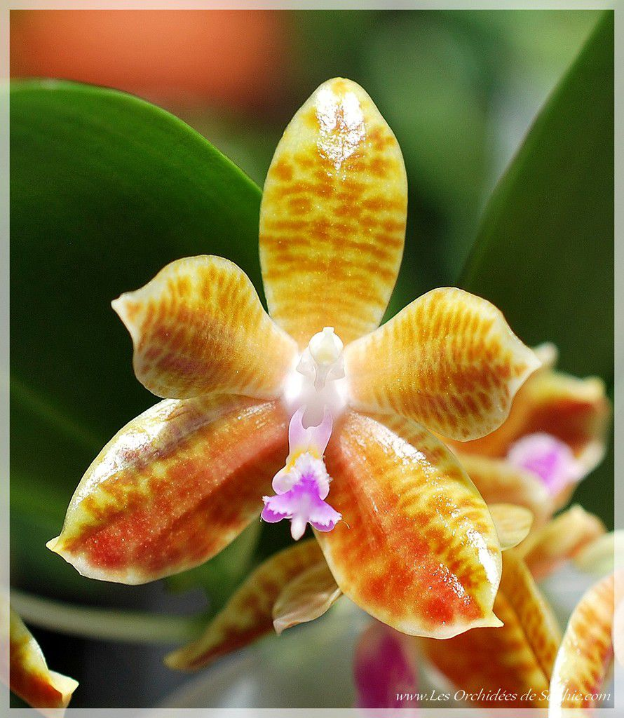 Phalaenopsis Little Fox