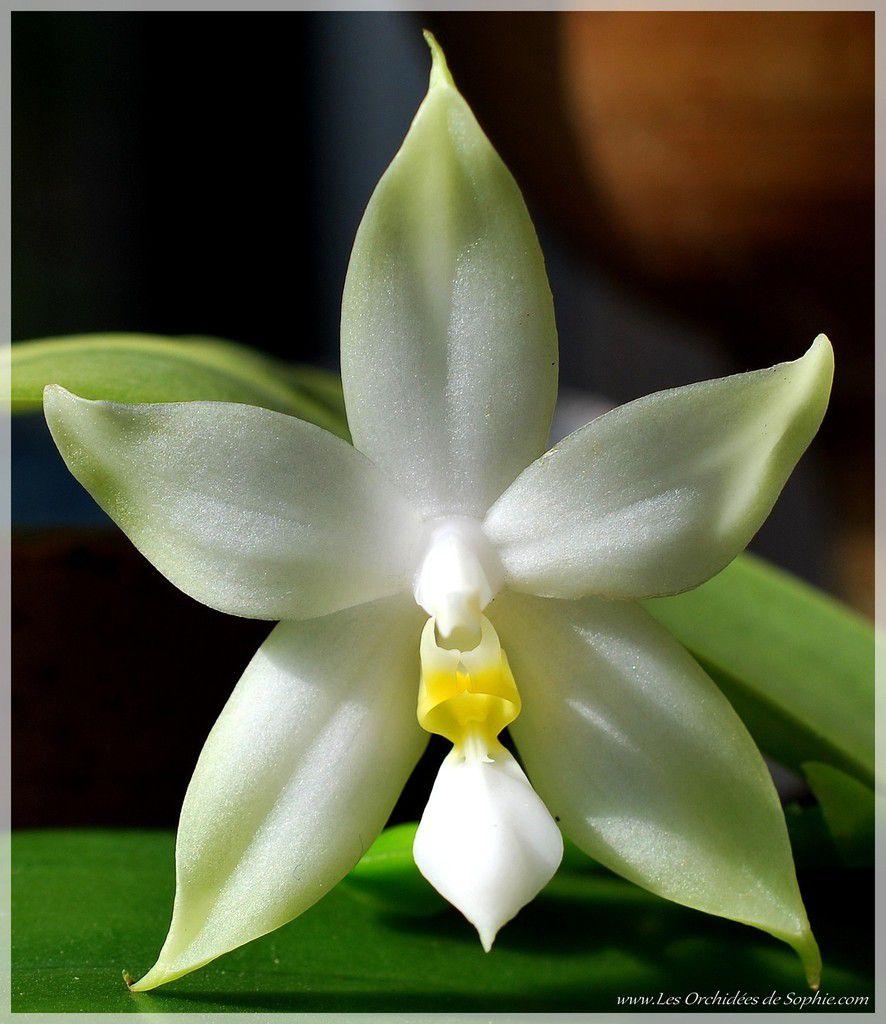 Phalaenopsis bellina var. alba