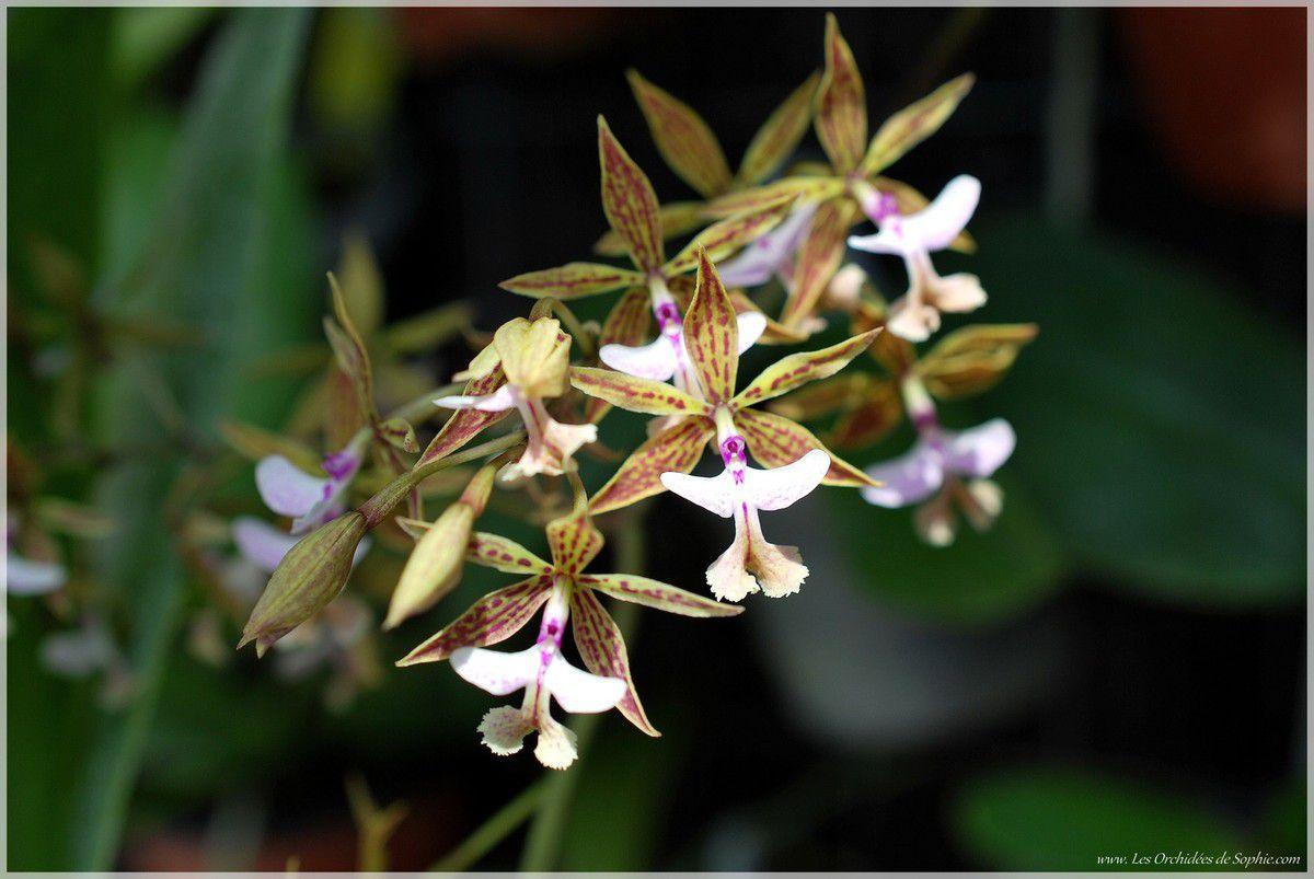 Epidendrum stamfordianum var. roseum