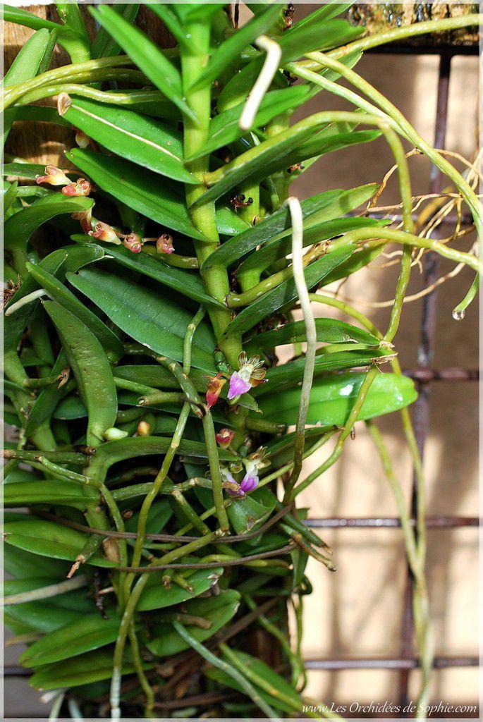 Pelatantheria insectifera