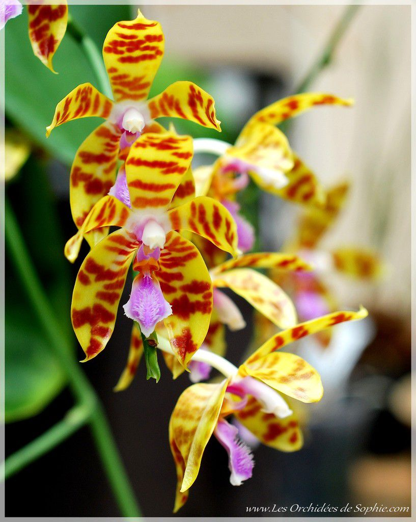 Phalaenopsis Tigress