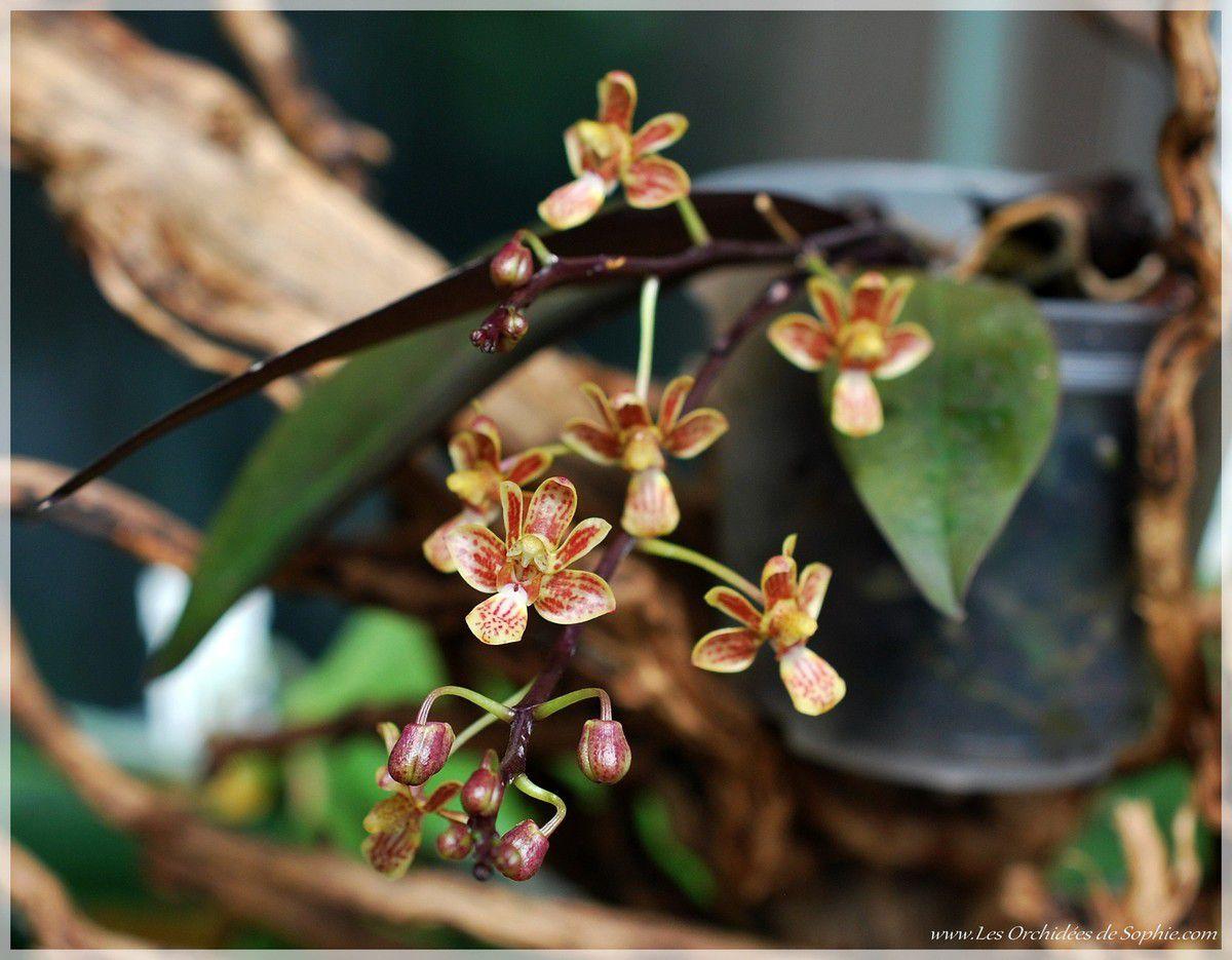 Phalaenopsis Huang's Finchi