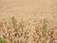 Les serviteurs du maître vinrent lui dire : 'Seigneur, n'est-ce pas du bon grain que tu as semé dans ton champ ? D'où vient donc qu'il y a de l'ivraie ?'