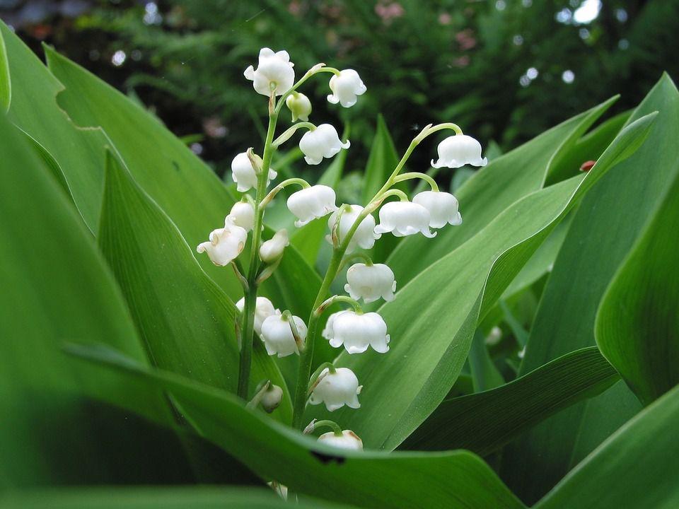 Douces fleurs du mois de Mai...