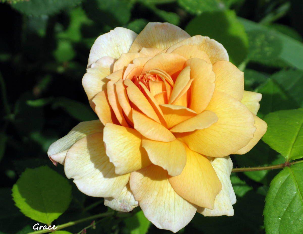 mes rosiers jaunes