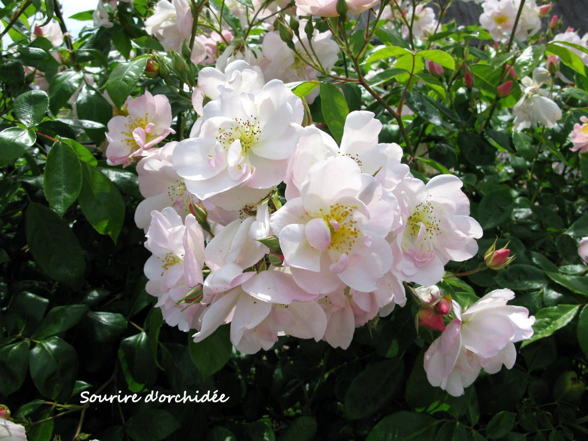 mes rosiers blancs