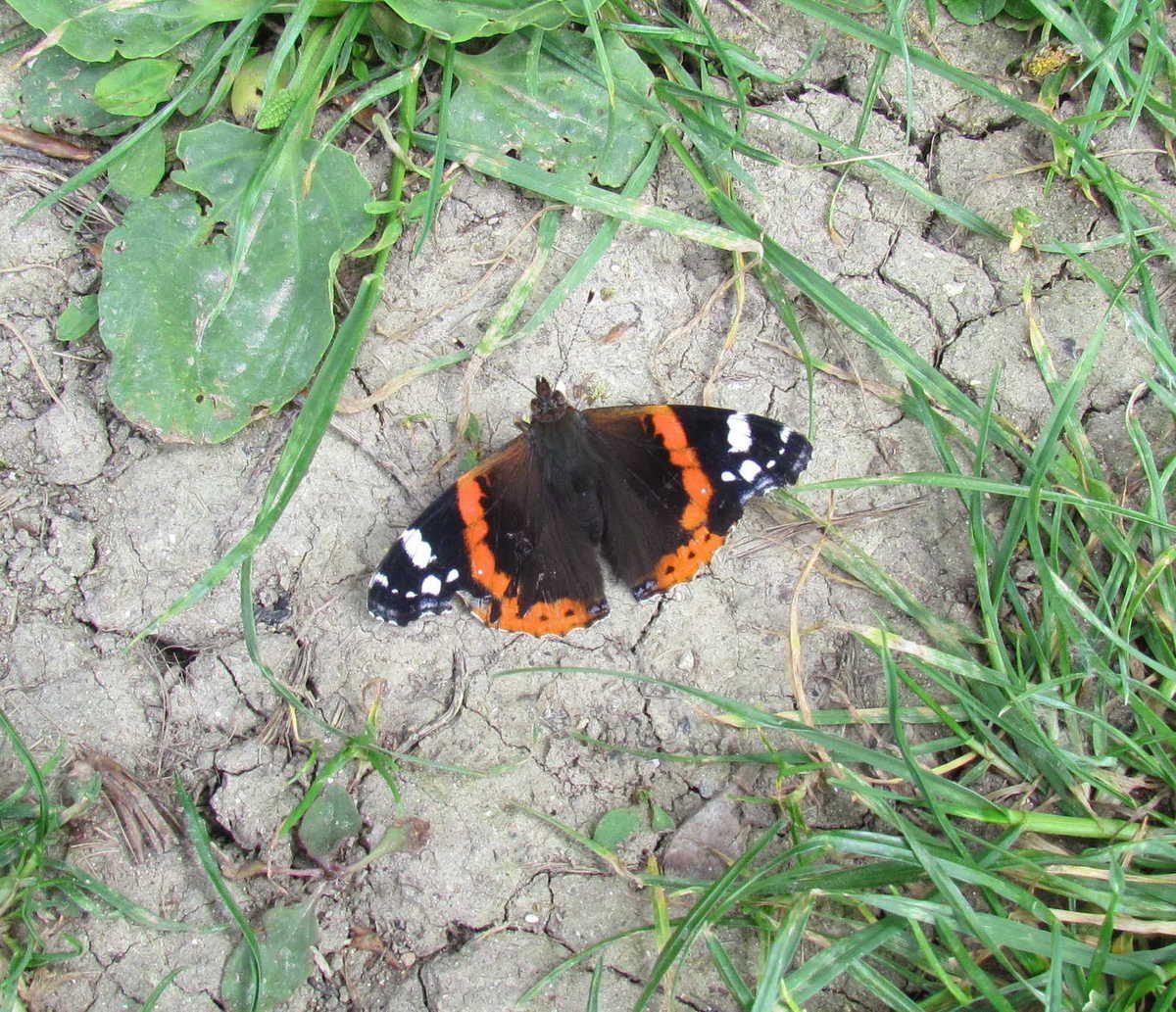 Le Vulcain : papillon migrateur !