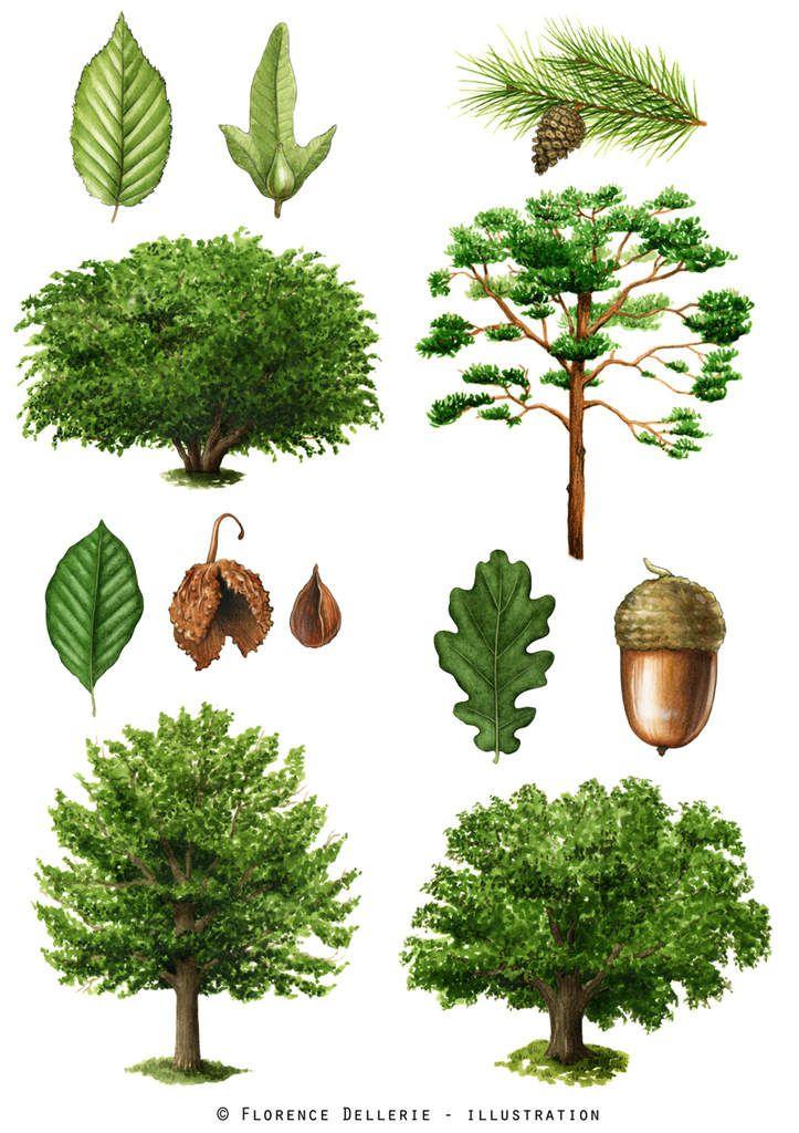illustrations botaniques arbres l 39 aquarelle le carton dessins de flo. Black Bedroom Furniture Sets. Home Design Ideas